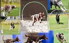 Intro to Canine Hoopers - 4 week course