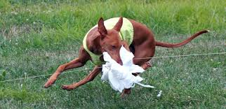 Lure Coursing ****FULLY BOOKED****